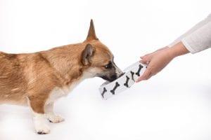 Cute dog eating food. Feeding hungry pembroke corgi.