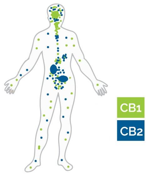 endocannabinoid receptors body chart